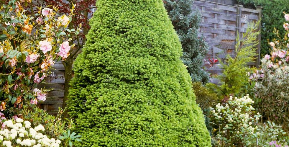 Ель сизая Коника  Picea glauca Conica