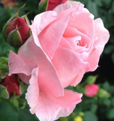 Rosa The Queen Elizabeth2.jpg