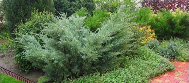 Juniperus media Pfitz. Glauca_3.jpg