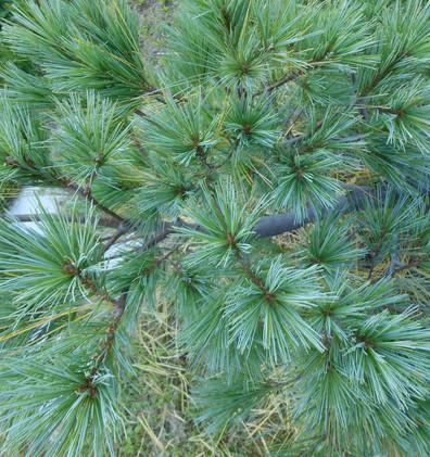 Pinus strobus Blue Shag_2.jpg
