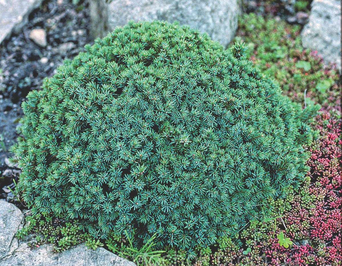 Picea glauca 'Echiniformis'