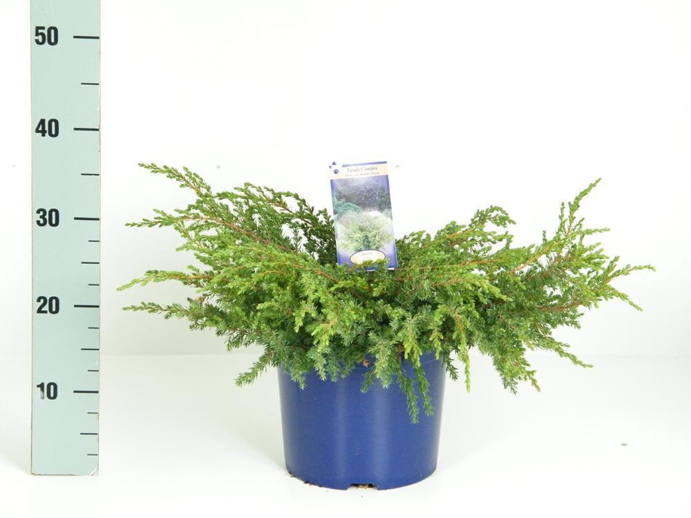 Juniperus communis Repanda_1.jpg