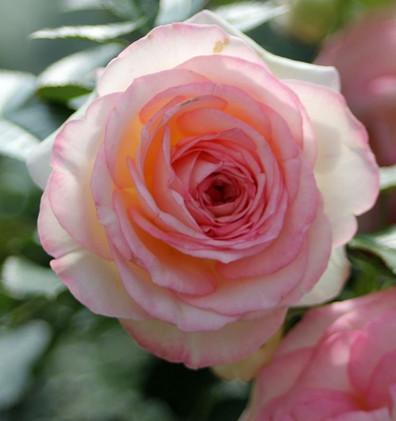 Rosa Eden Rose 85_3.jpg