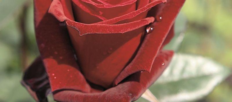 Rosa Barkarole1.jpg