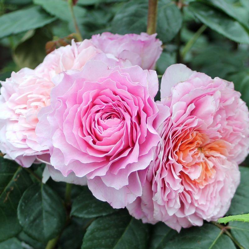 Rosa Eisvogel3.jpg