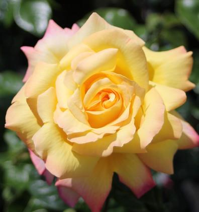 Rosa Gloria Dei1.jpg