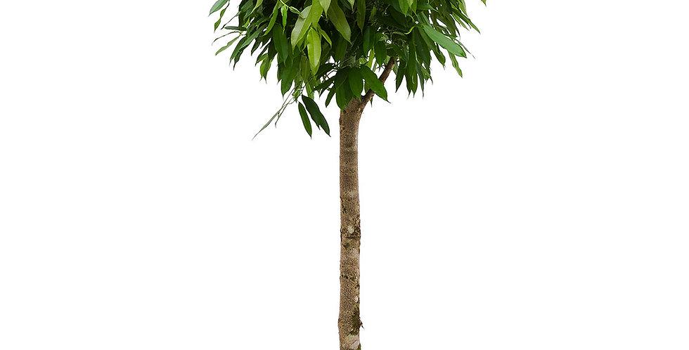 Ficus Amstel King Op Stam