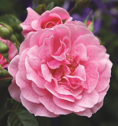 Rosa Camelot_2.jpg