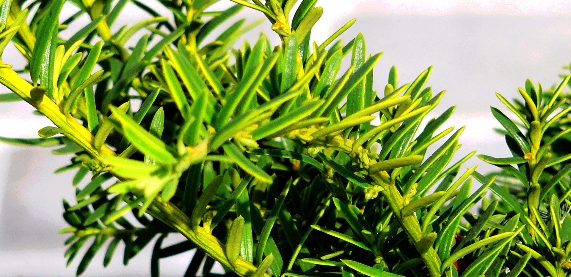 Taxus baccata Summergold_2.JPG