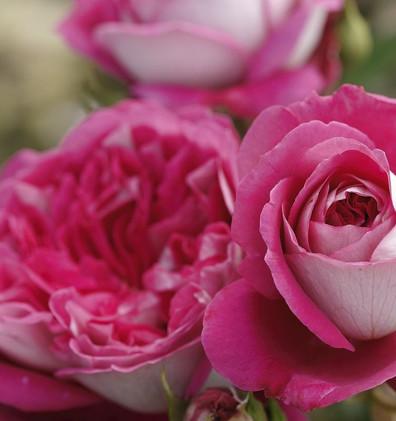 Rosa Maxim1.jpg
