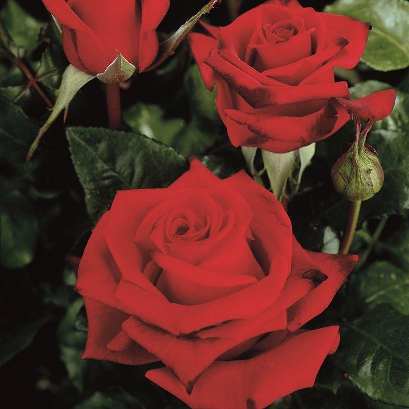 Rosa Black Magic1.jpg