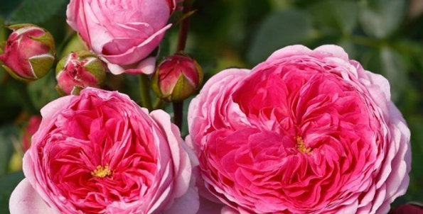 Rosa tea hybrid Modern Art