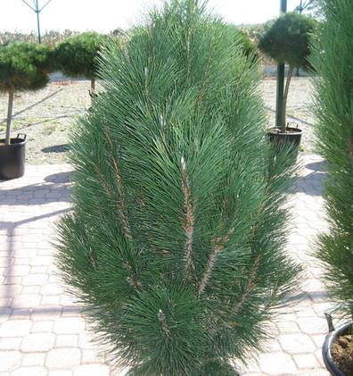 Pinus nigra Pyramidalis_1.jpg