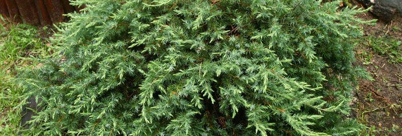 Можжевельник прибрежный Schlager (Juniperus conferta Schlager)