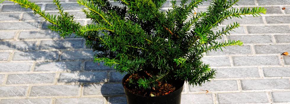 Taxus baccata Summergold_1.JPG