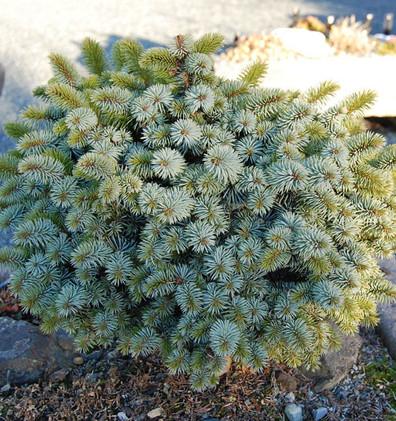 Picea sitchensis Midget_3.jpg