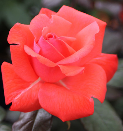 Rosa Piccolo1.jpg