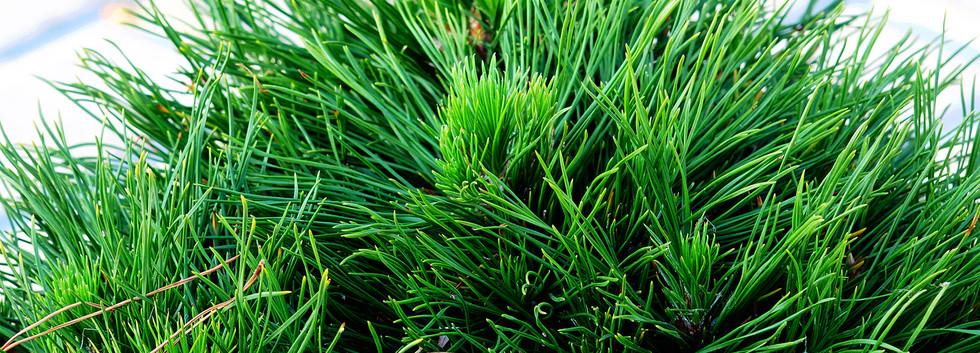 Pinus nigra Bambino_2.JPG