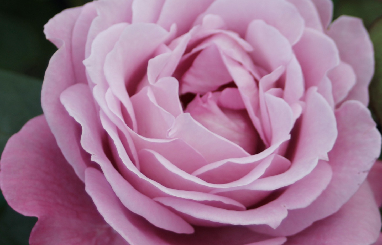 Rosa Blue Parfum3.jpg