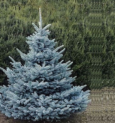 Picea pungens Super Blue.jpg
