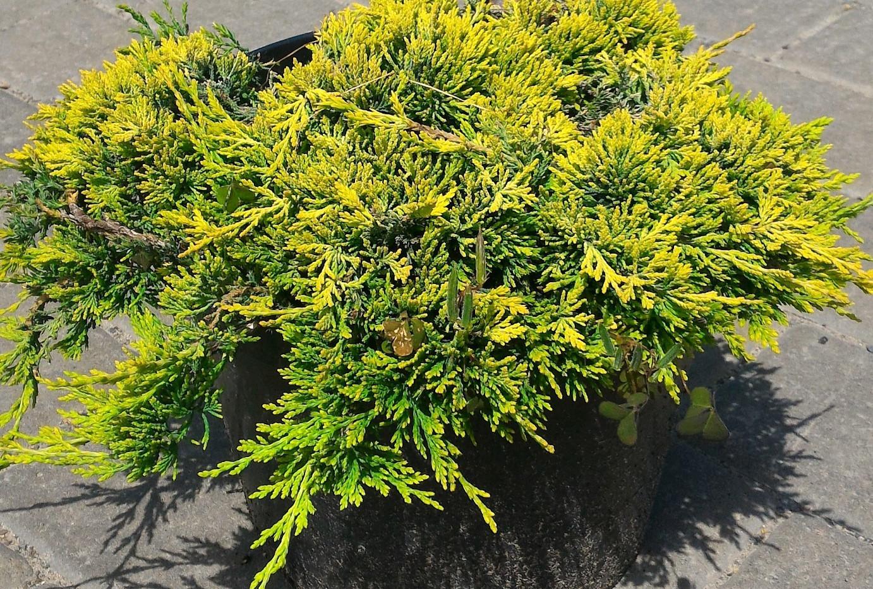 Juniperus hor Golden Carpet_1.jpg