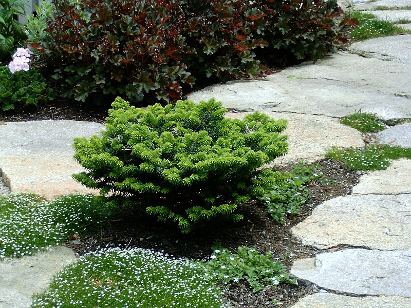 Abies Koreana Brillant_3.jpg