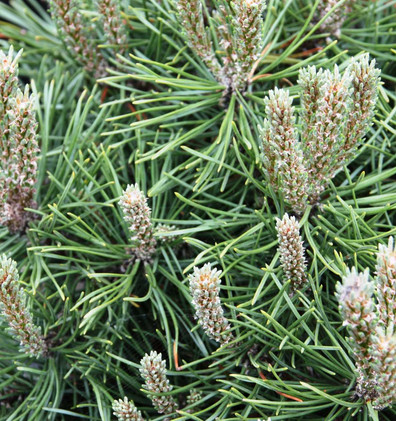Pinus mugo Mops_2.jpg