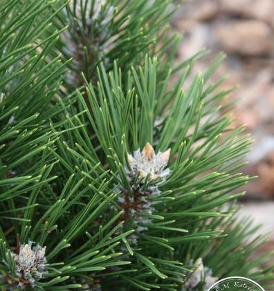 Pinus nigra Richard_2.JPG