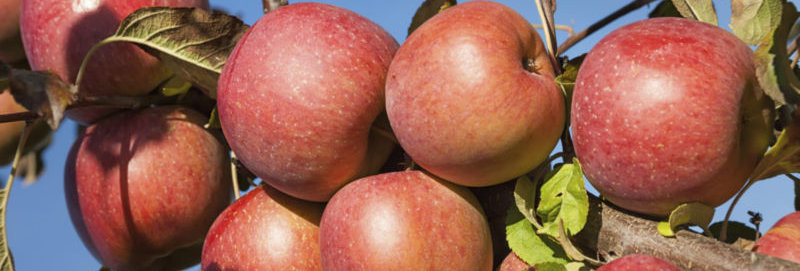 Яблоня домашняя Braeburn  Malus domestica Braeburn