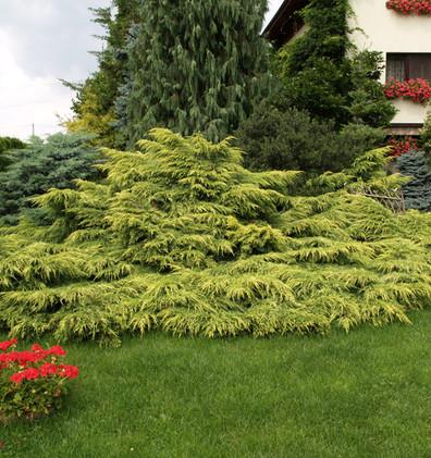 Juniperus media Gold Star3.jpg