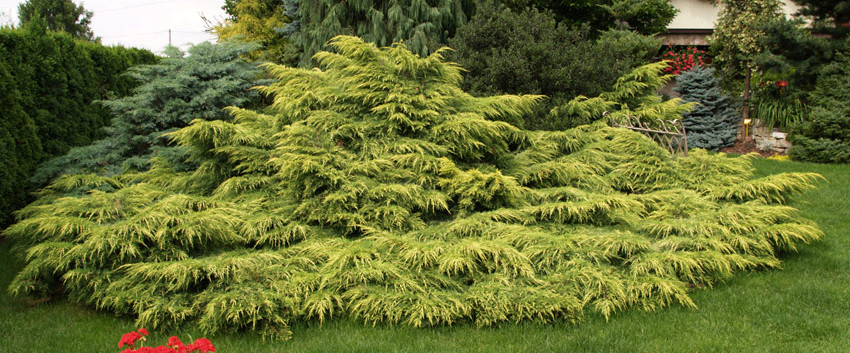 Juniperus media Gold Star3.jpg