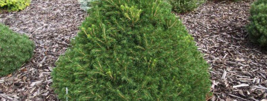 Ель обыкновенная Toмпа  Picea abies Tompa