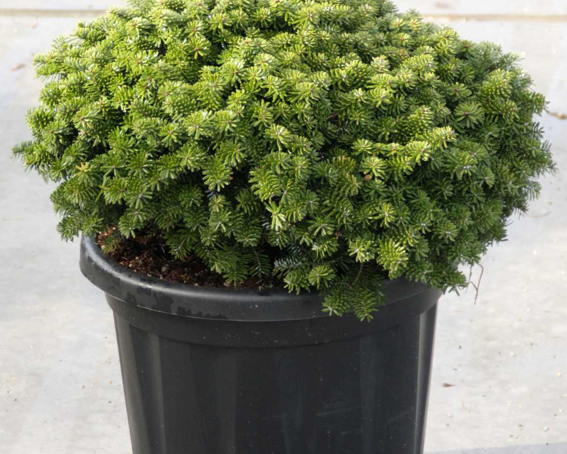 Abies Koreana Brillant_1.jpg