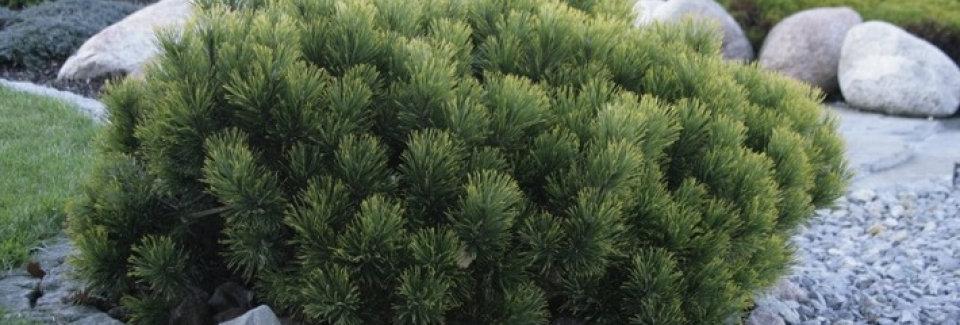 Сосна горная форма пумилио  (Pinus mugo pumilio)