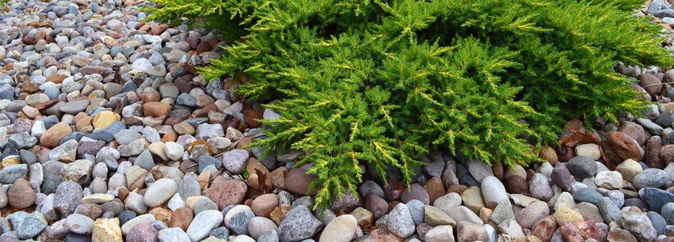 Juniperus communis Green Carpet_3.jpg
