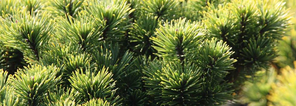 Pinus mugo Carsten's Wintergold_2.jpg