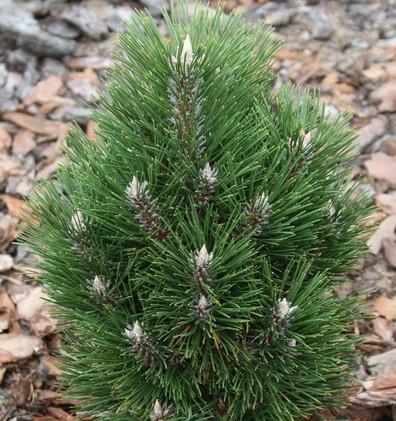 Pinus nigra Richard_1.jpg