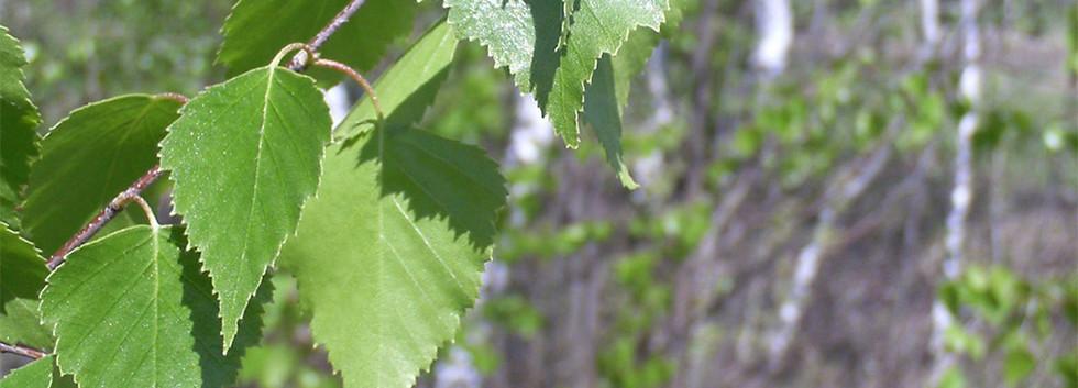 Betula pendula_2.jpg