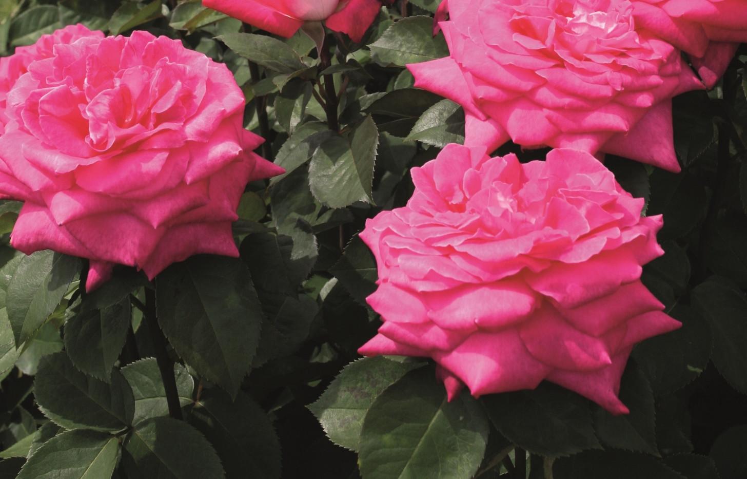 Rosa Acapella3.jpg