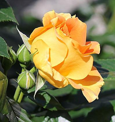 Rosa Goldelse2.jpg