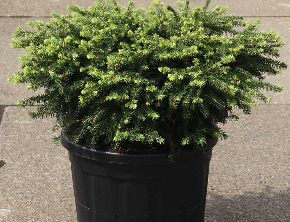 Ель обыкновенная 'Нидиформис'  (Picea abies 'Nidiformis')