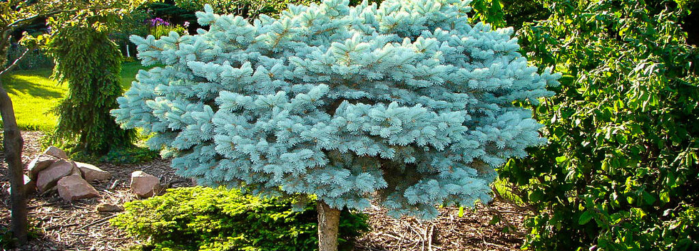 Picea pungens _Glauka Globosa