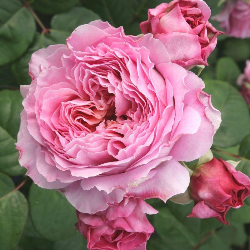 Rosa Eisvogel2.jpg