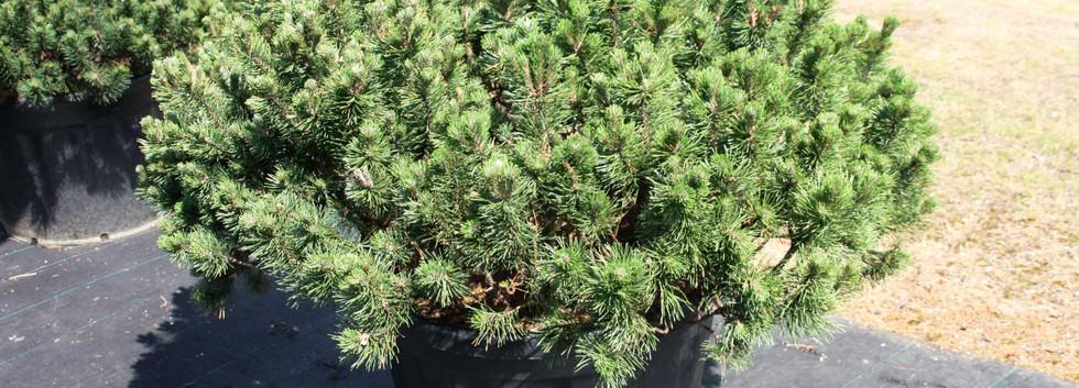 Pinus mugo Mughus_1.jpg