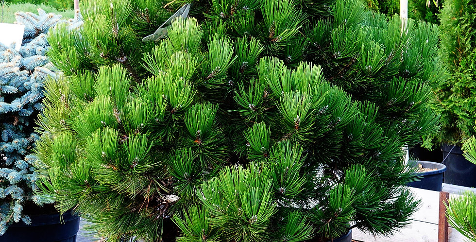 """Сосна Гельдрейха """"Compact Gem""""  Pinus leucodermis """"Compact Gem"""" 50-60см/с12"""