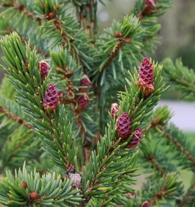 Picea omorika_2.jpg