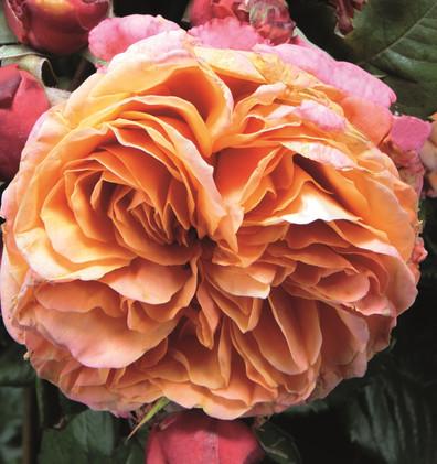 Rosa Mary Ann2.jpg