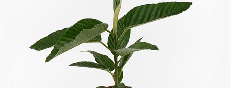 Ficus Bus Floris