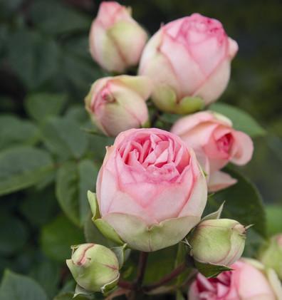 Rosa Charming Piano2.jpg