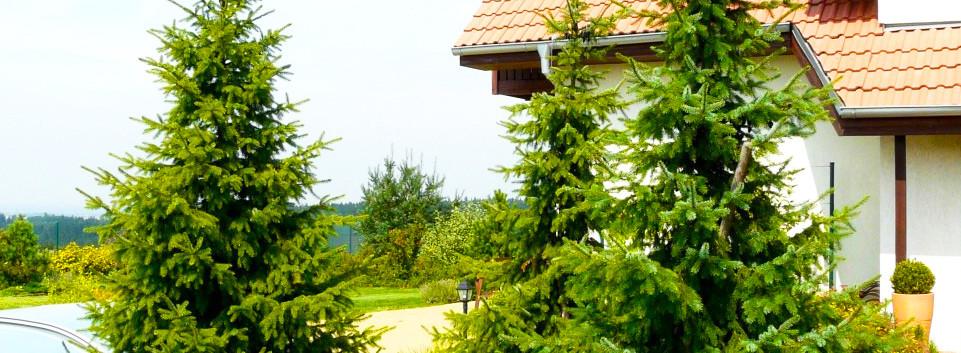 Picea omorika_3.jpg